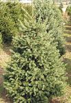 Colorado Spruce Christmas Tree