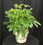 Table Top Schefflera Plant