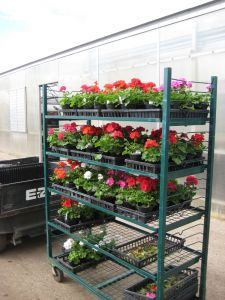 Moving Geraniums