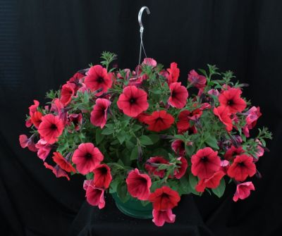 Small Single Variety  Annual Hanging Basket
