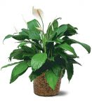 Floor Size Peace Lily